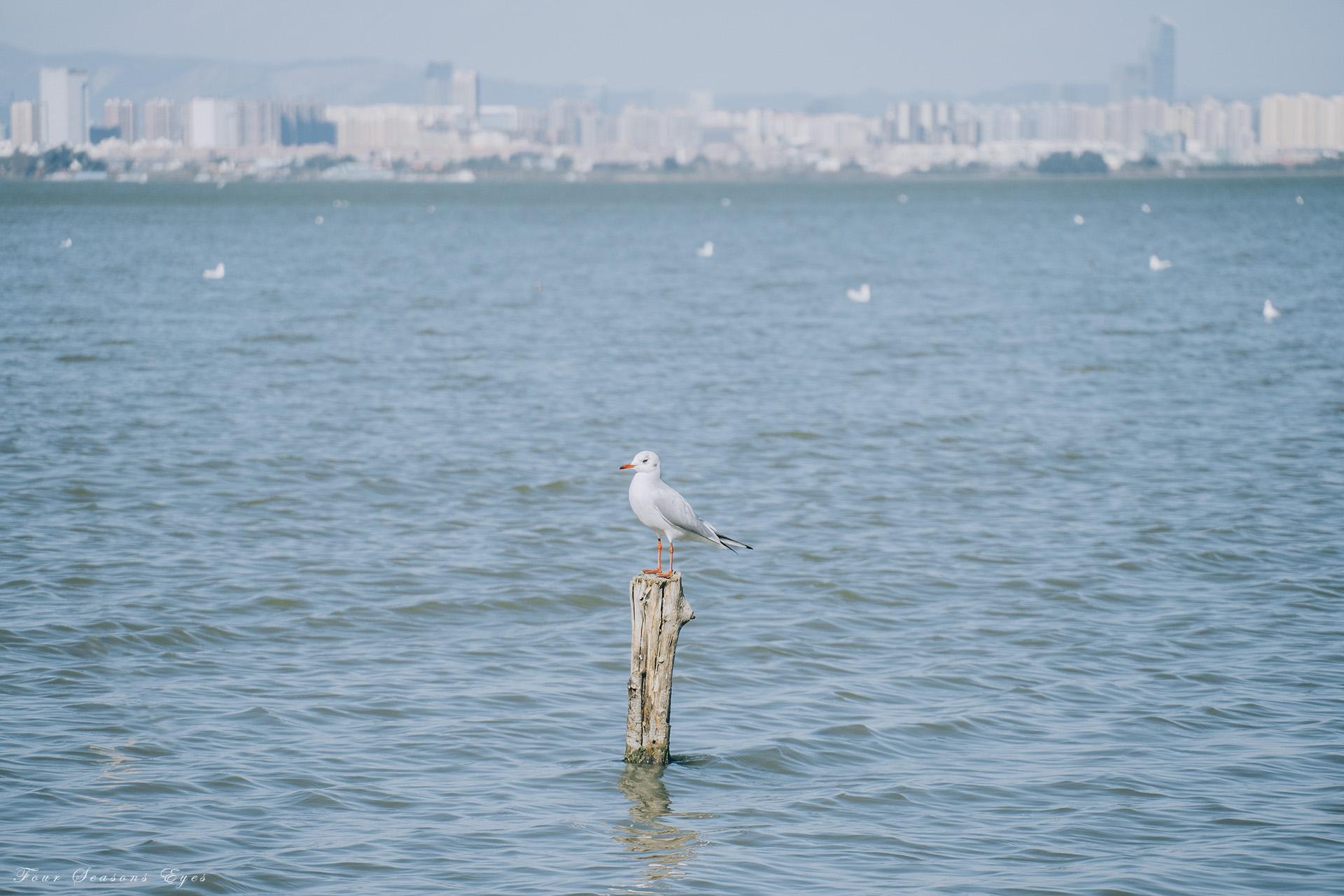 滇池·海鸥